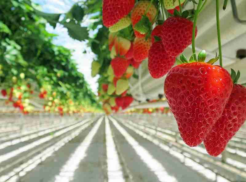 How to grow strawberry hydroponically or in soil.