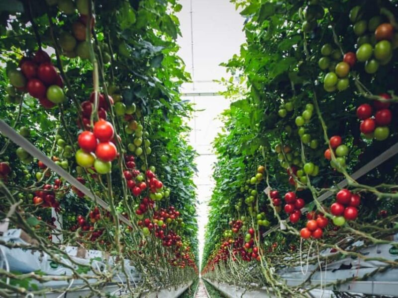 How to grow tomatoes hydroponically